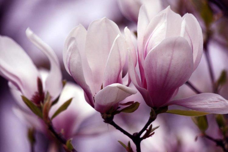 Ý nghĩa của hoa mộc lan trong tình yêu và cuộc sống