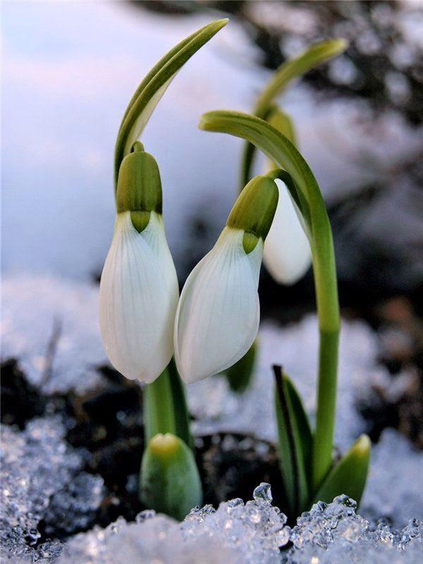 Ý Nghĩa Hoa Giọt Tuyết